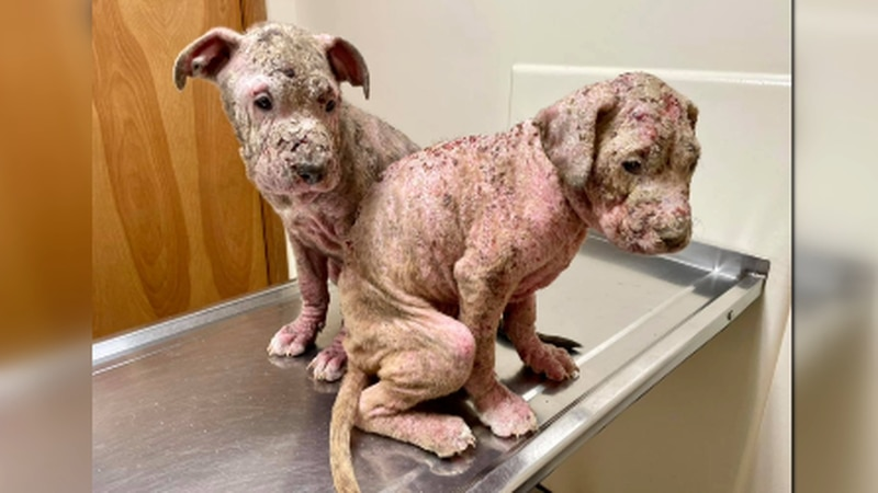 Southern Indiana Animal Rescue is asking the community for help as it fosters two neglected...