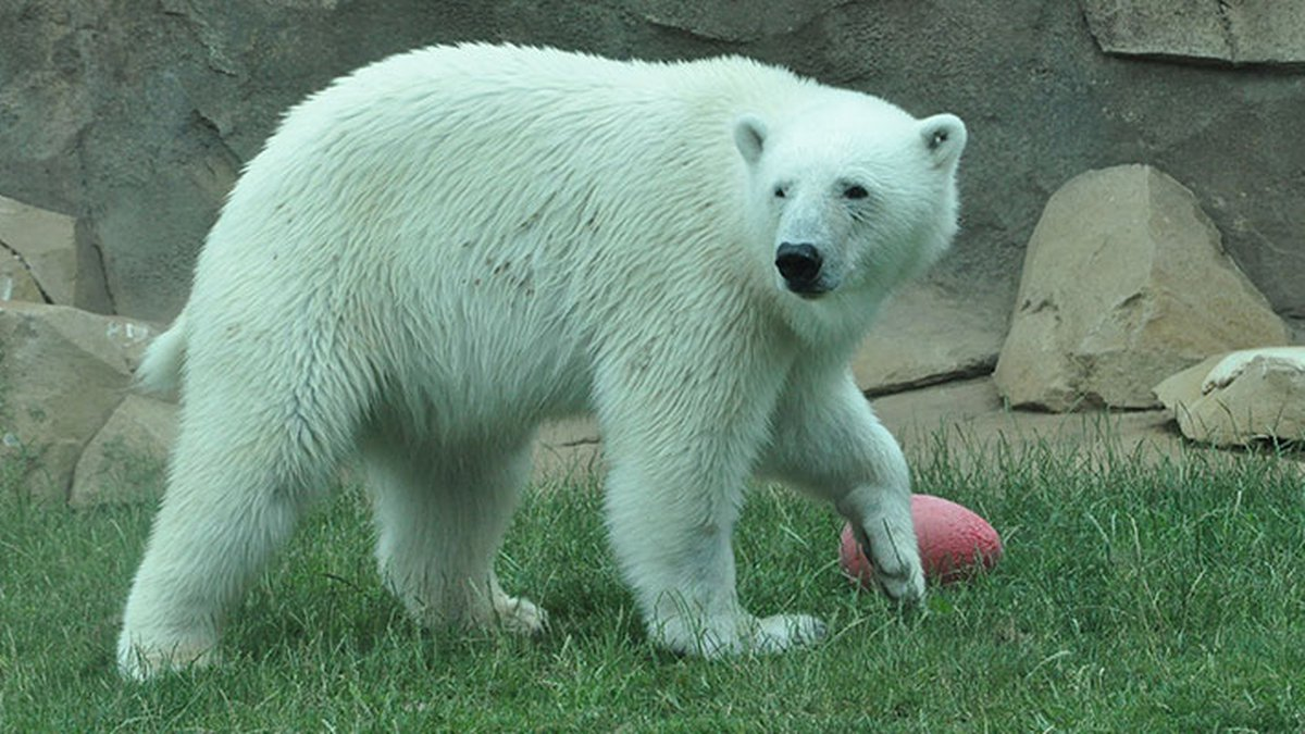 Qannik the polar bear will have to wait to celebrate her birthday this year.