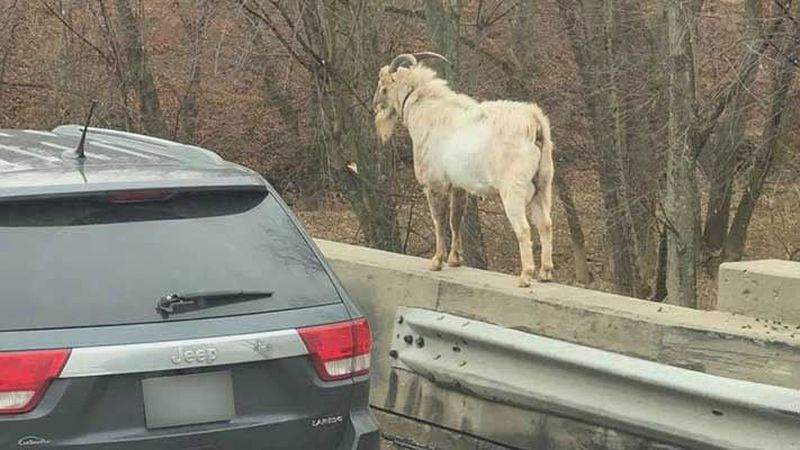 Houdini has been spotted by several drivers on I-65 south. (Source: Facebook)