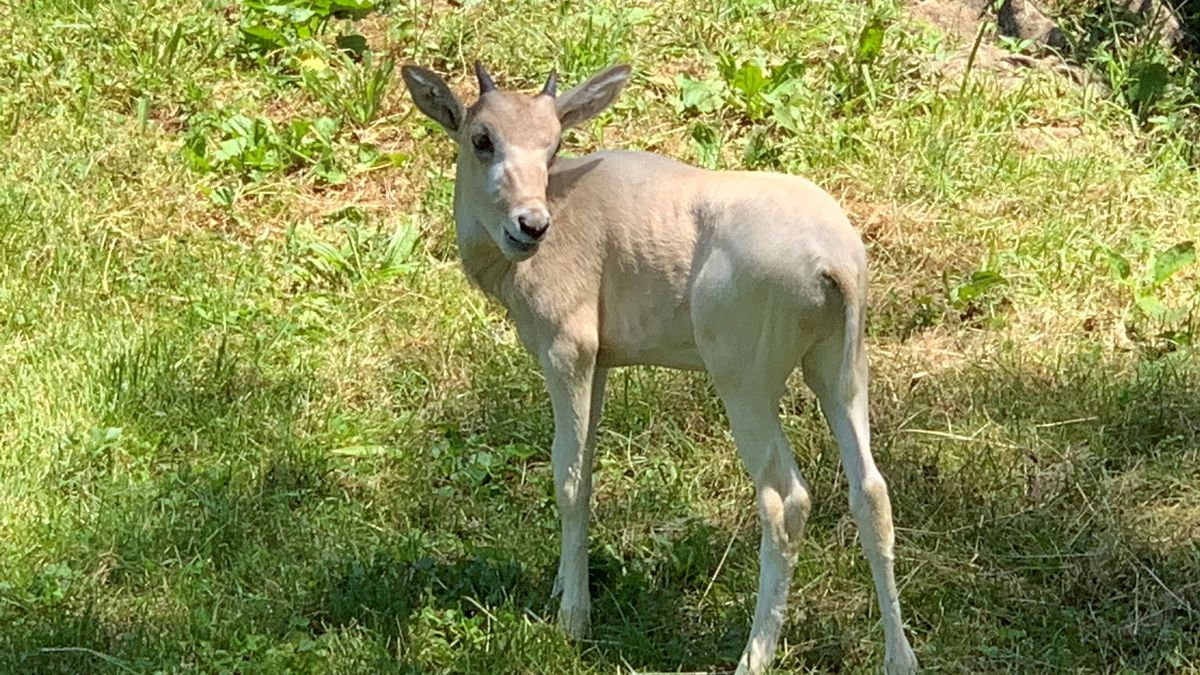 """The Louisville Zoo's baby addax has been named Jira, which translates to """"anticipation"""" in Hausa."""