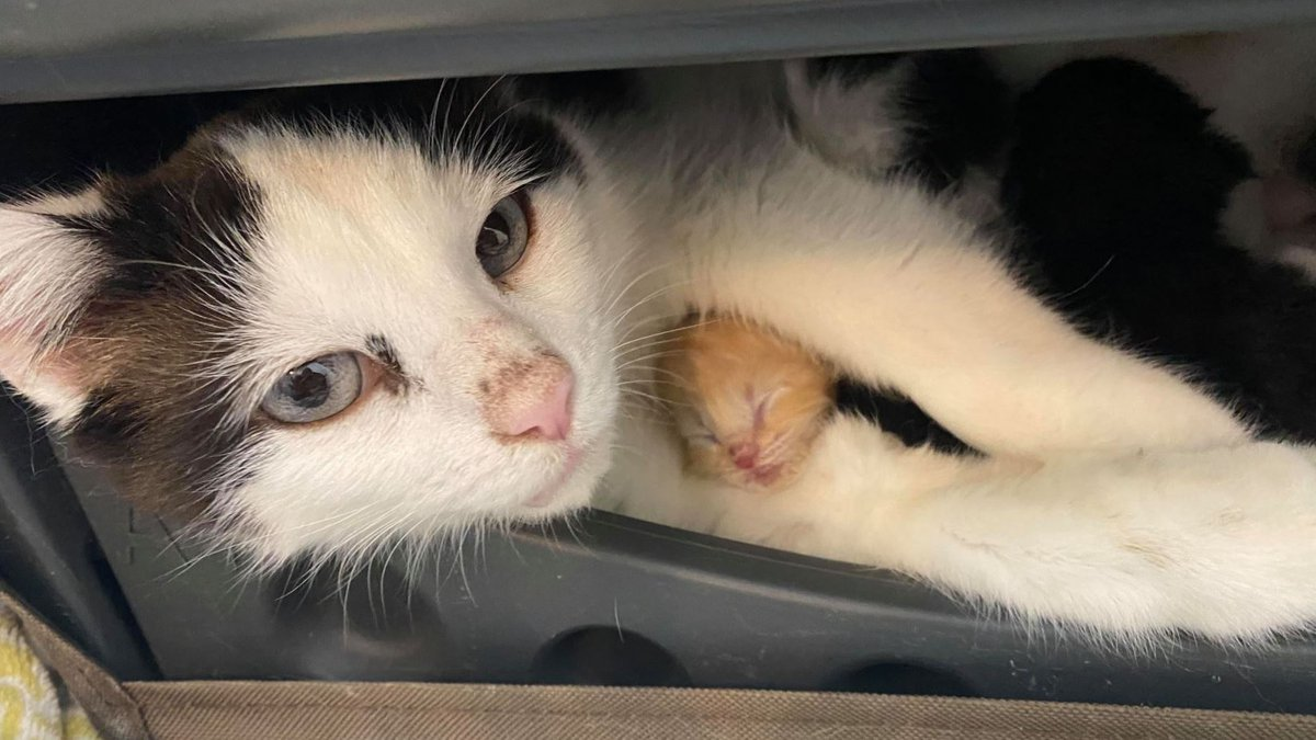 The Kentucky Humane Society is sharing a heroic tale of a protective mother cat, a helpful...