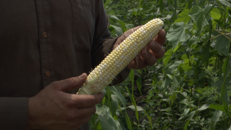 Tim Guldan, owner and operator of Guldan Family Farm, hold an ear of sweet corn in rural New...