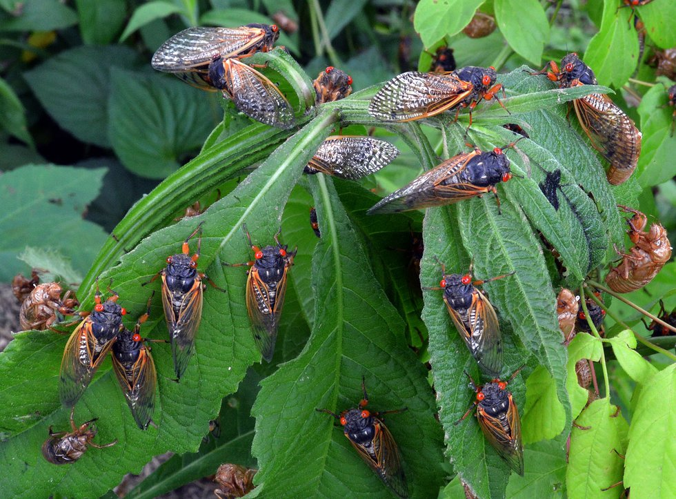 This spring will be noisy with Brood X cicadas emerging.