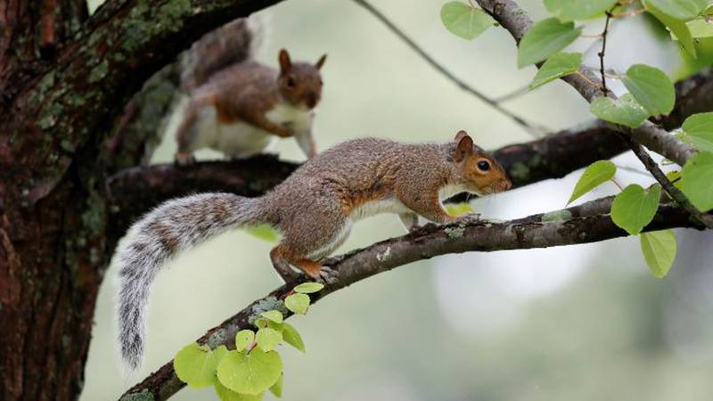 About 10,000 EnergyUnited customers were in the dark Saturday morning due to a squirrel in the...