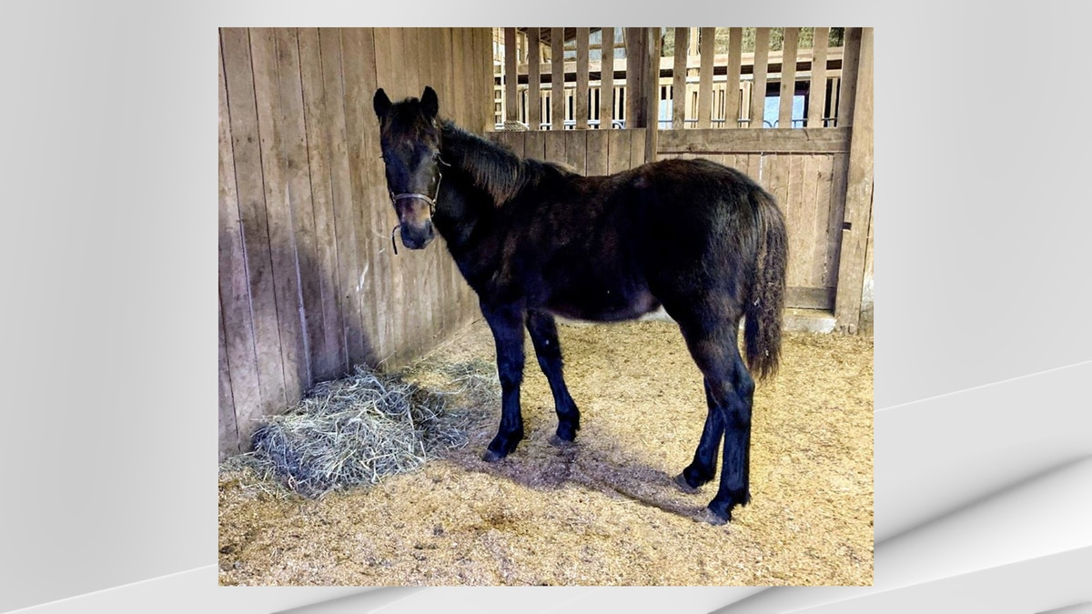 Knox, a weanling colt that was rescued back in December, has been placed up for adoption by the...