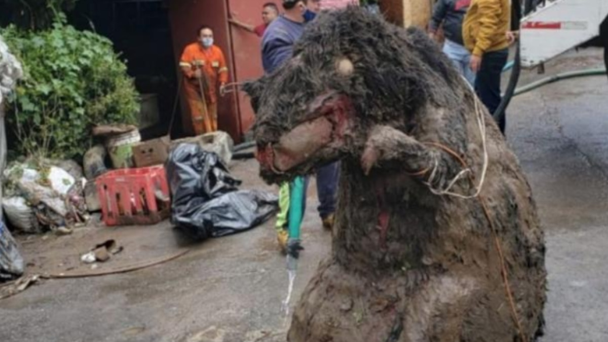 Amid more than 20 tons of trash in the drains running underneath Mexico City, a giant rat made...