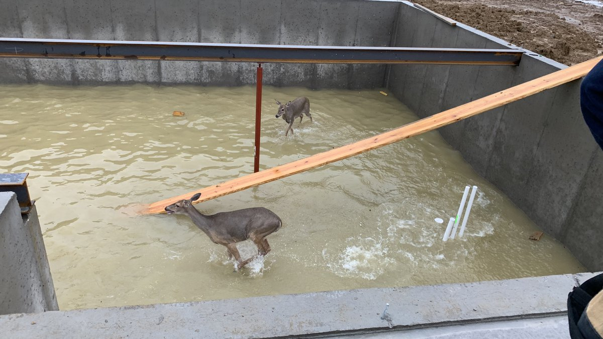 The two deer were trapped in the foundation of a basement under construction.