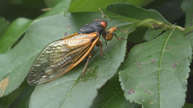 Doctors warn against dogs eating cicadas