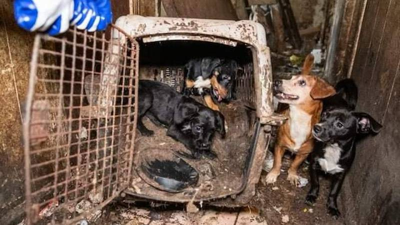 A woman was arrested after a months-long investigation led to the seizure of 44 neglected dogs,...