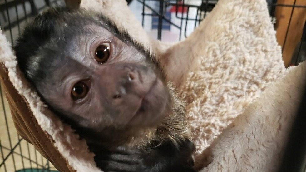 A capuchin monkey that was found outside a home in Owenton, Kentucky, is now at the Primate...
