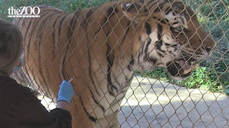Coronavirus vaccine administered to Amur Tiger, Vikintii at The Louisville Zoo