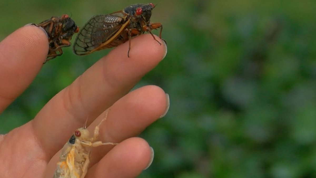 Brood X cicadas have already been spotted in WAVE Country as billions of the bugs are expected...