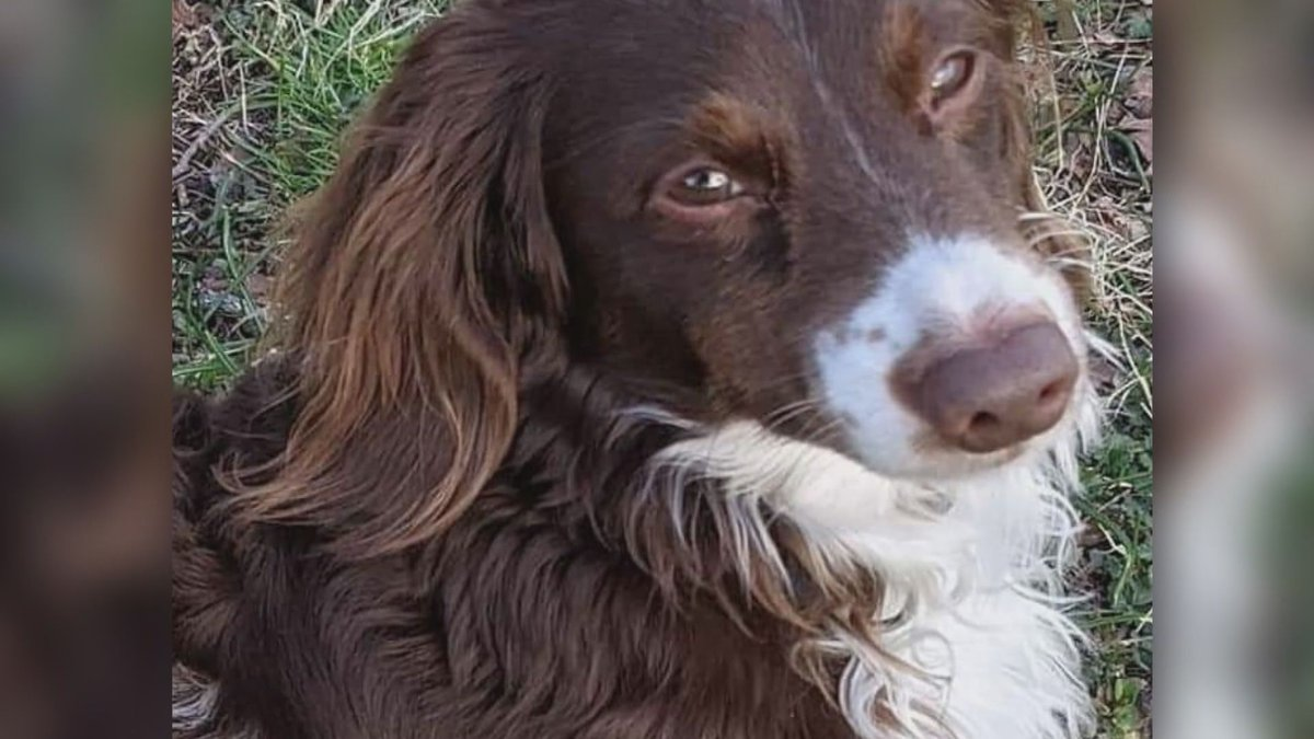 Rowdy, a missing support dog for two children, has been missing since April 16. A $2,700 reward...